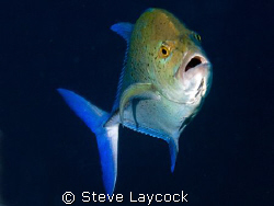 Blue fin trevally by Steve Laycock 